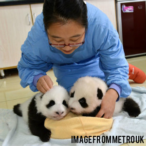 a woman taking care of baby pandas